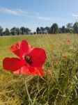 A poppy in the fields (pic by Maddie)